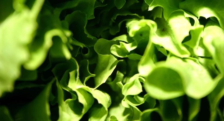 lettuce_macro-wallpaper-1920x1080.jpg